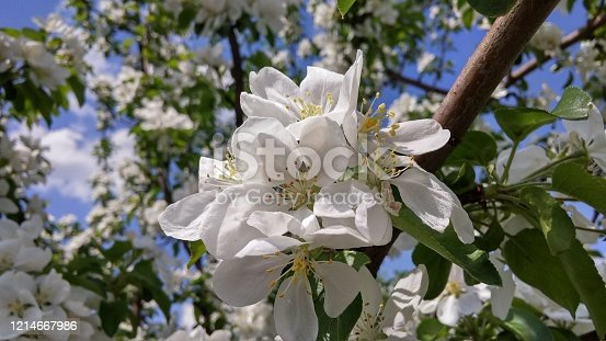 The inflorescences of the blossoming apple tree clear day