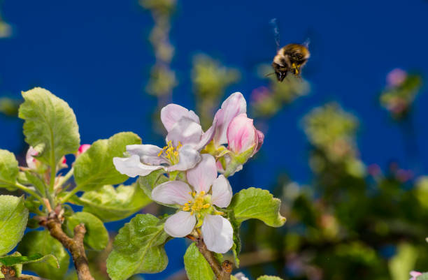 Apple Blossoms stock photo