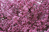 full frame of apple blossoms on tree