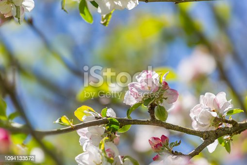 Apple Blossoms in Apple Tree against a blue sky on a sunny Spring day