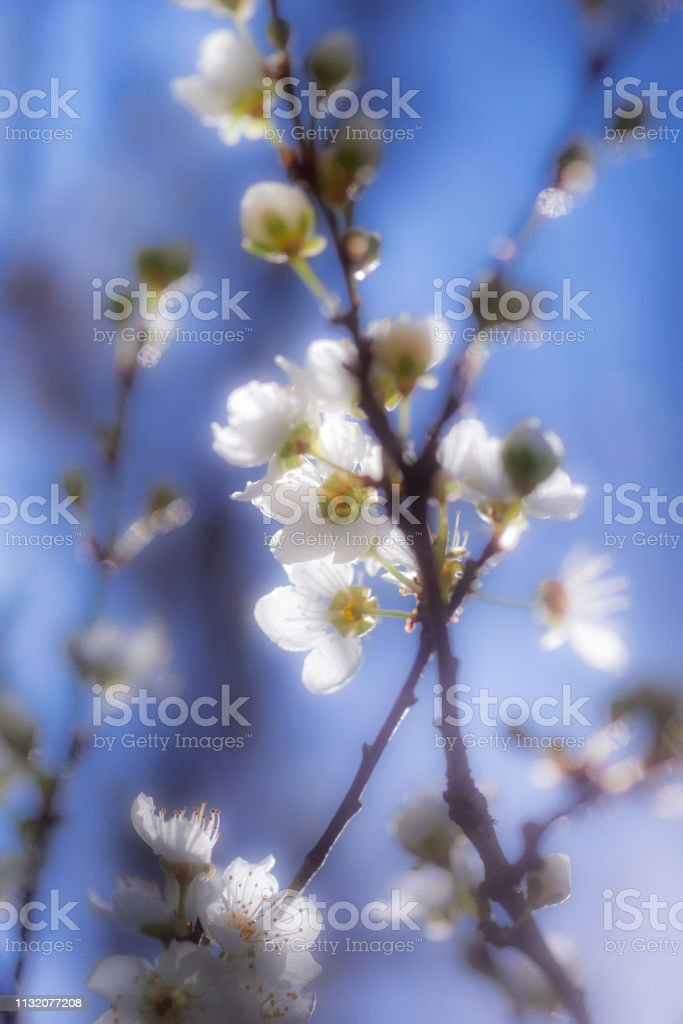 Apple Blossoms with blue sky stock photo
