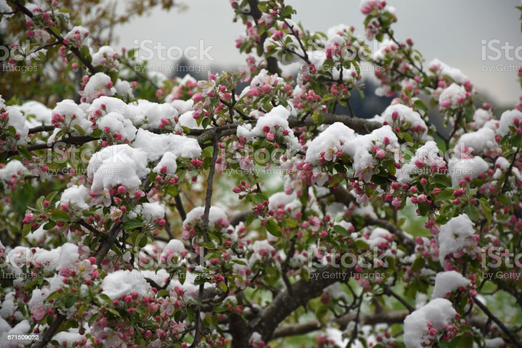 Apple blossoms with snow stock photo