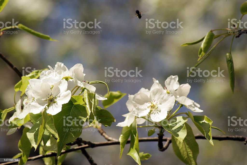 Apple Blossoms-Pollinating stock photo