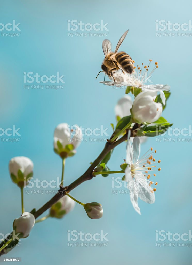 Apple branch blossom with bee stock photo