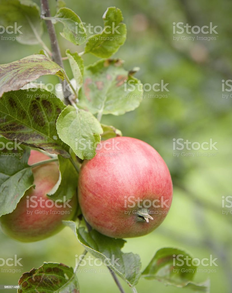 Apple branch royalty-free stock photo
