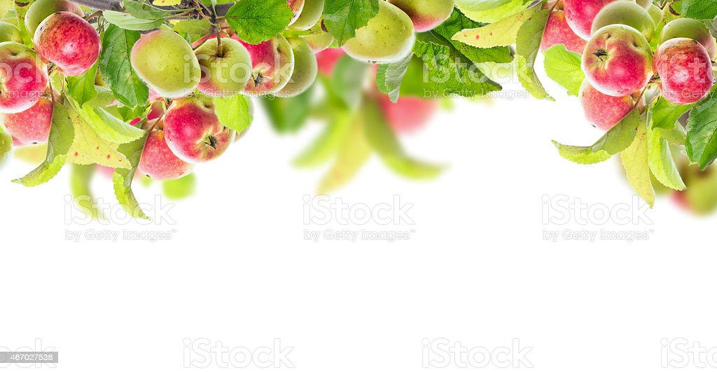 Apple branch with apples and leaves, banner for website, isolated stock photo