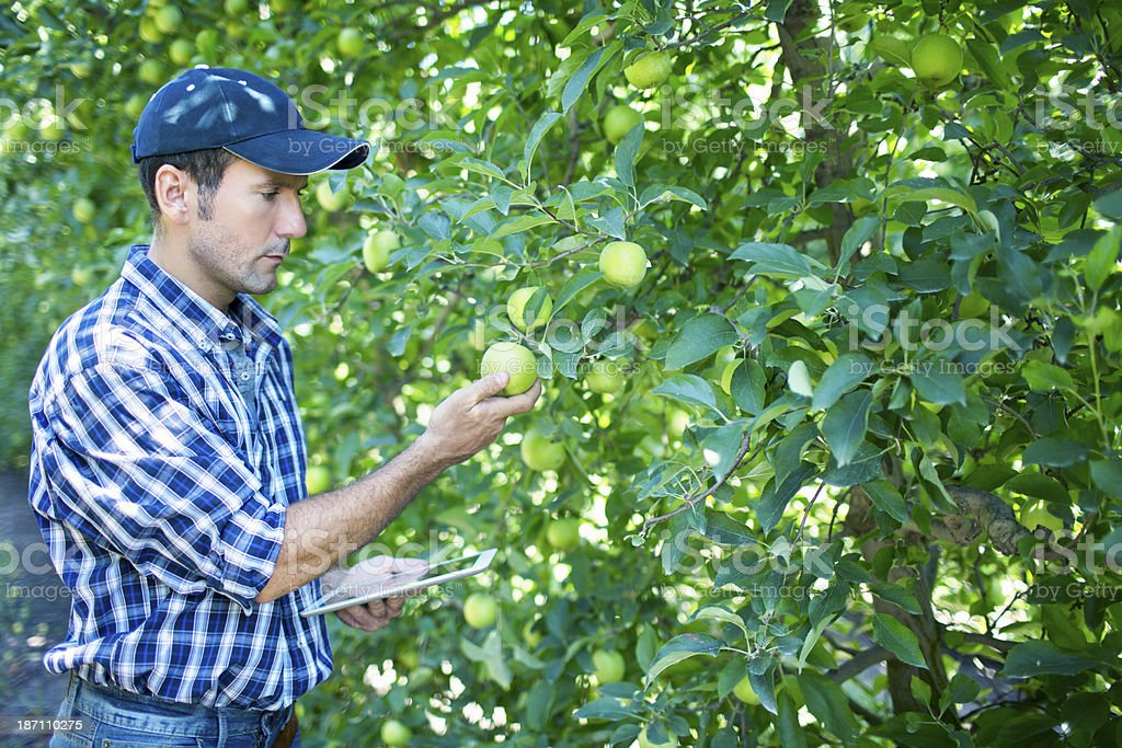 Farmer doing a control quality to his orchard apples.