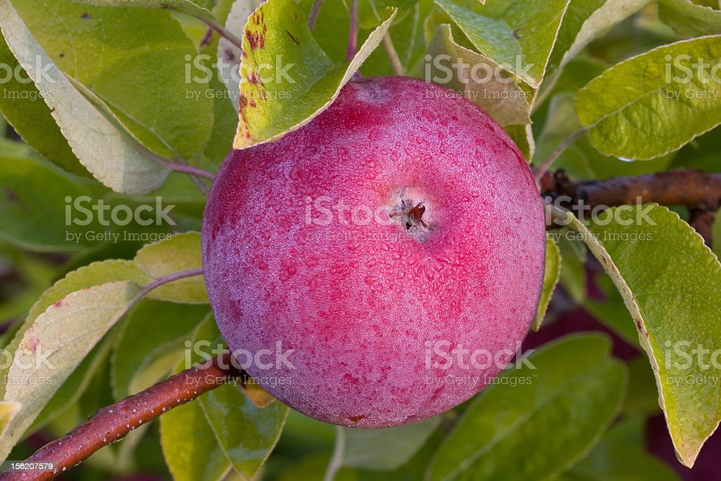 Apple Covered in Morning Dew stock photo
