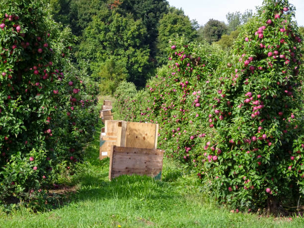 Apple Crates in an Orchard in Marion New York stock photo