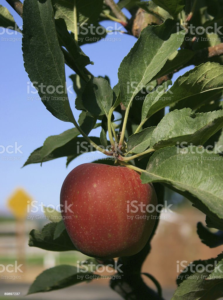 Apple crop stock photo