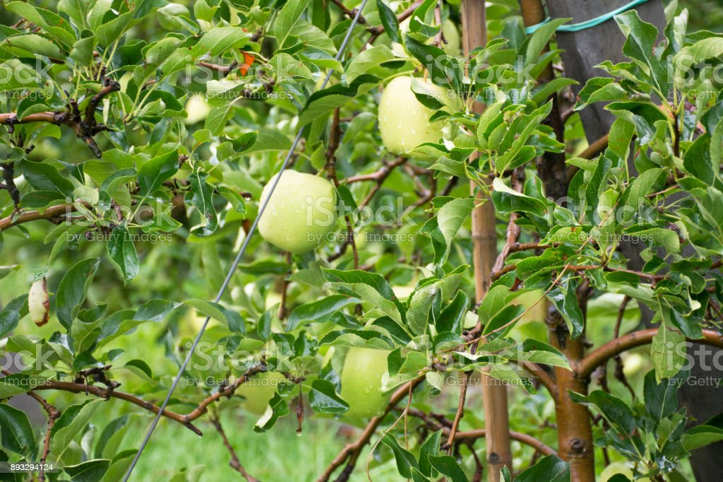 Apple farm at countryside of Italy stock photo