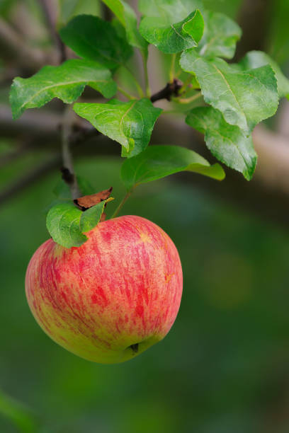 Apple fetus on branch with green leaves in autumn in sunlight stock photo