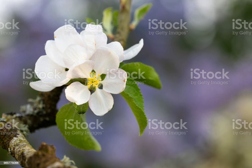 Apple flower and lilacs - Royalty-free Apple - Fruit Stock Photo