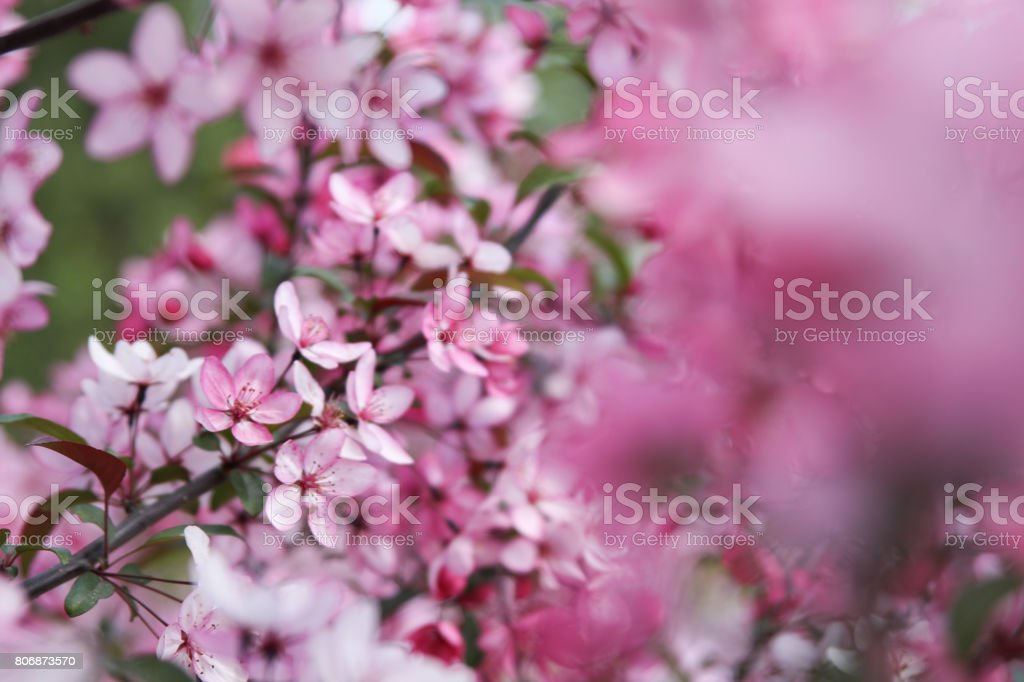 apple flower background stock photo