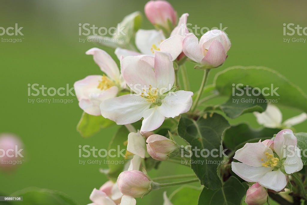 Apple flower in spring sunny day royalty-free stock photo