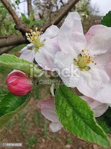 Apple tree flower in the garden during springtime