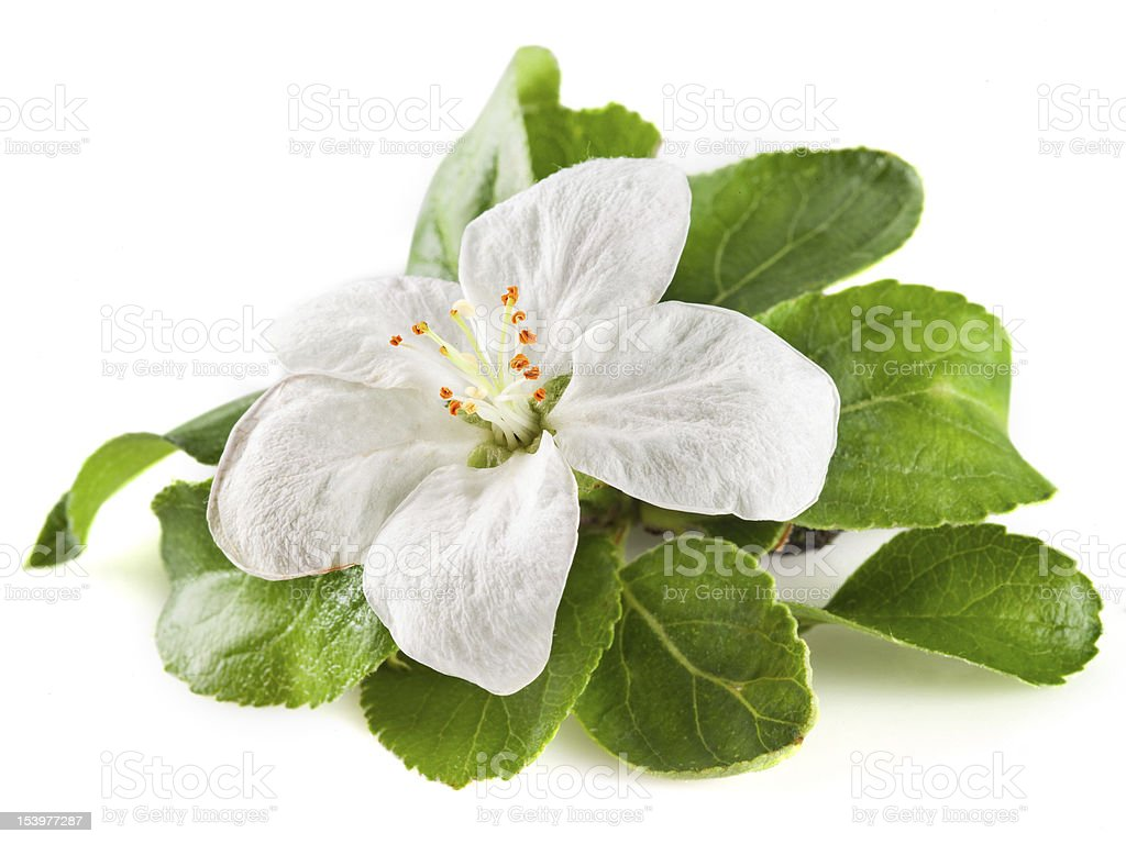 apple flower isolated on white. with clipping path stock photo