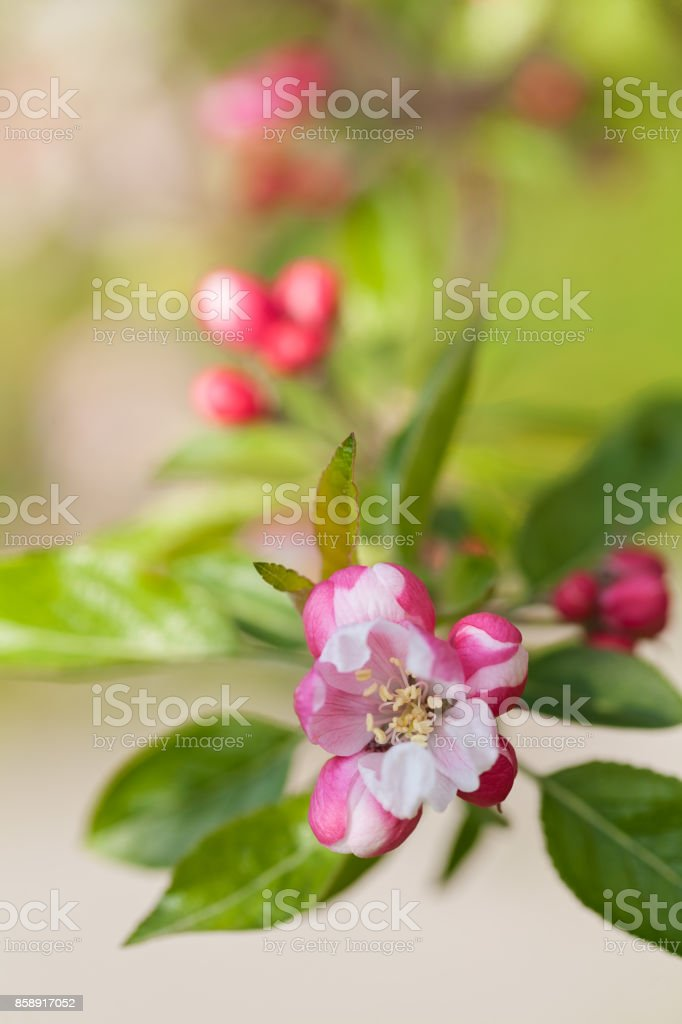 apple flower on a branch stock photo