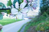 Wild Apple flower