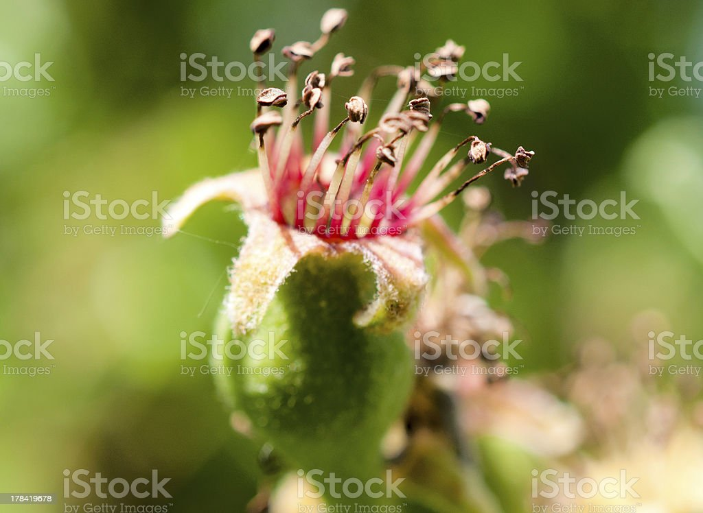 Apple flower royalty-free stock photo