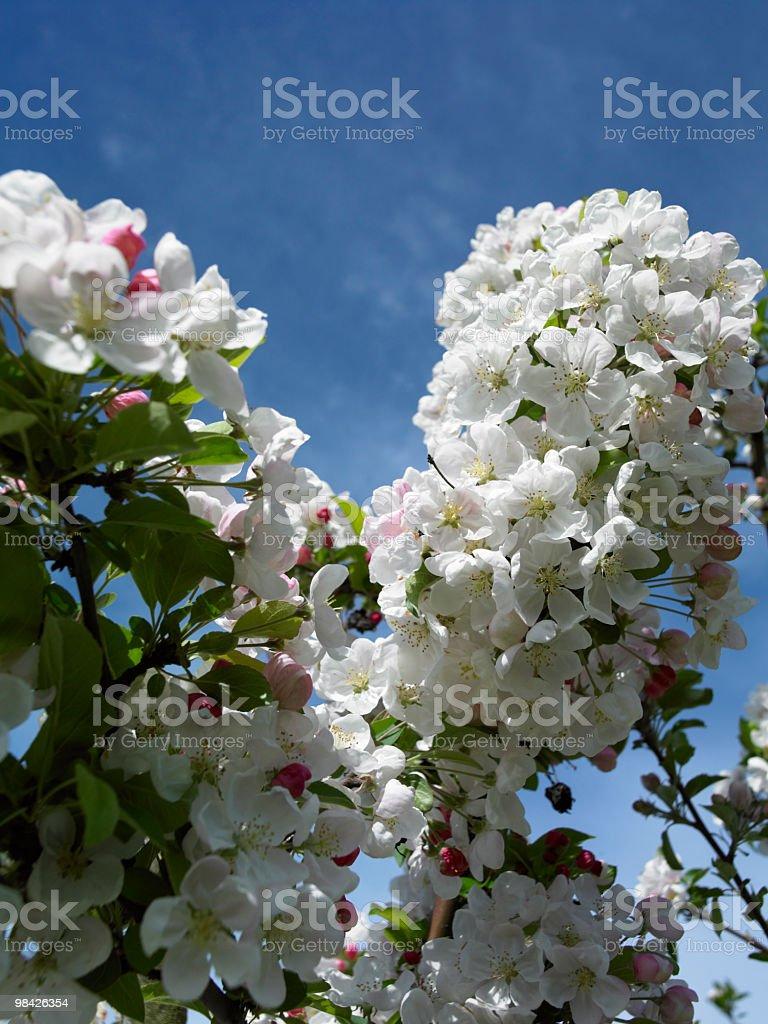apple flower royalty-free stock photo