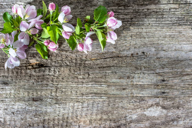 Apple flower, spring blossom on wooden background stock photo