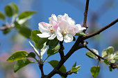 Apple flowers in blossom