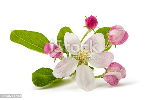 Apple Flowers with buds isolated on white background
