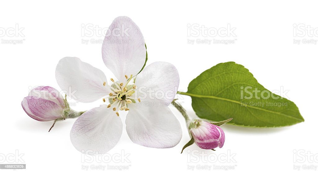 Apple Flowers stock photo