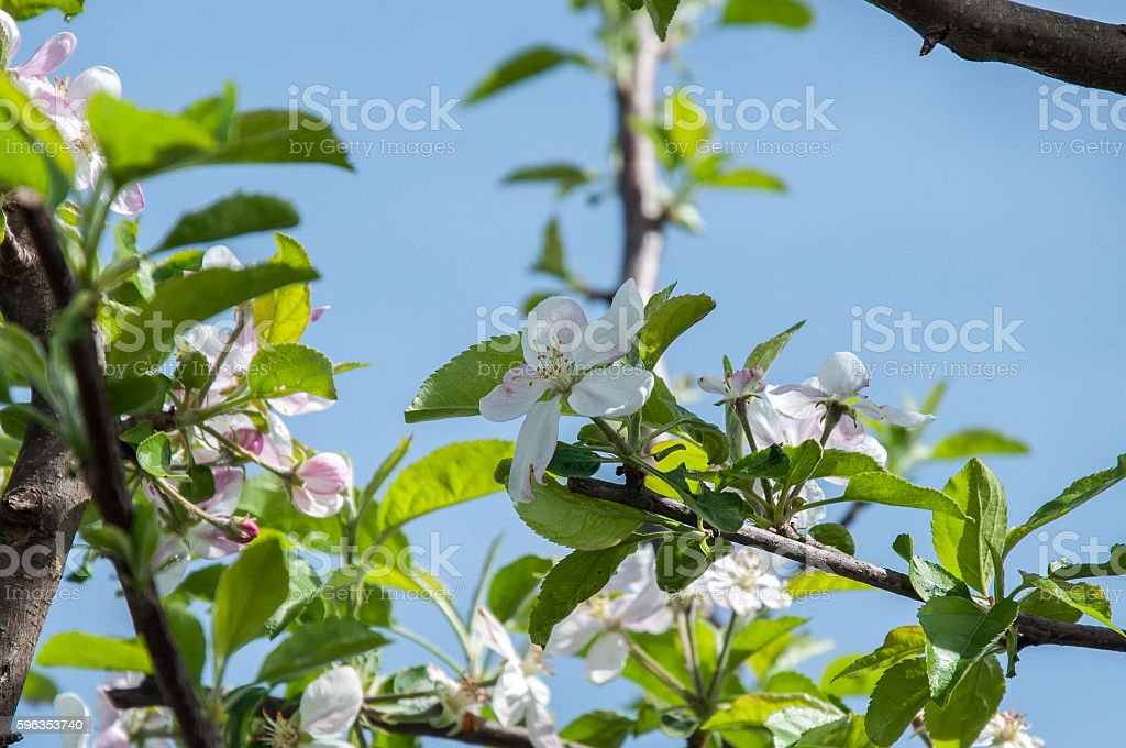 Apple flowers royalty-free stock photo