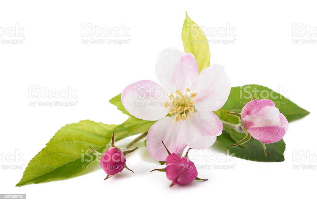 애플 꽃과 이어버드 스톡 사진