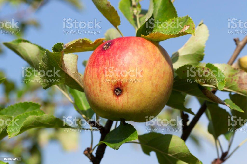 ver et pomme - Photo