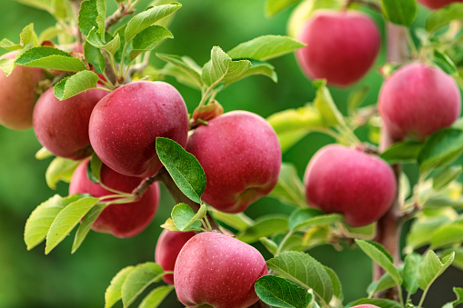 Red apple fruits on apple tree branches
