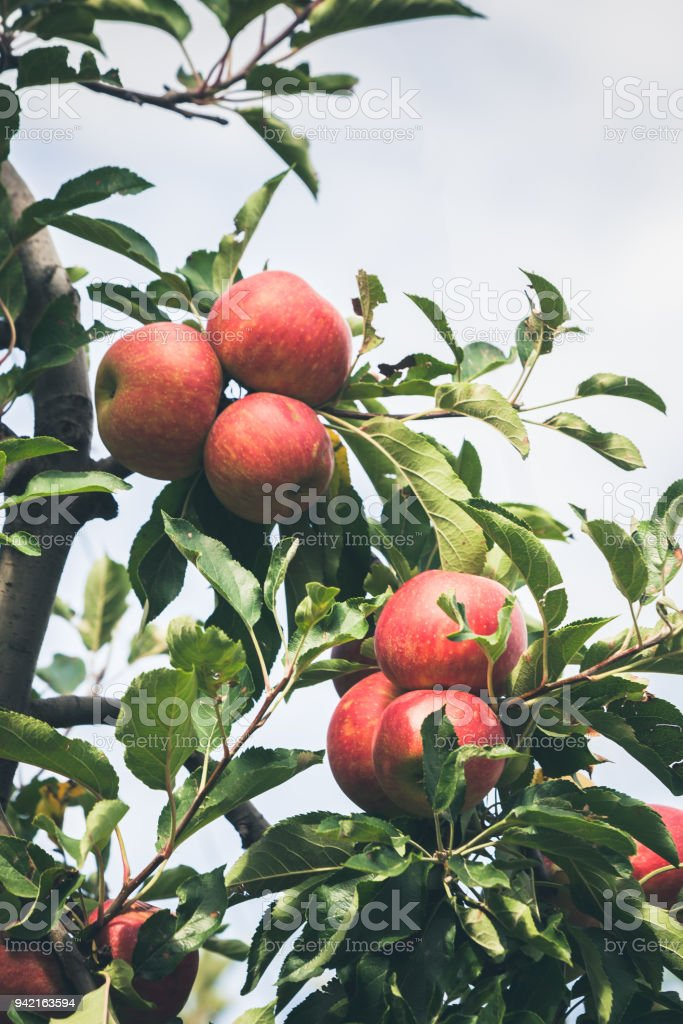 Apple Garden Full Of Ripe Red Fruits Stock Photo & More Pictures of ...