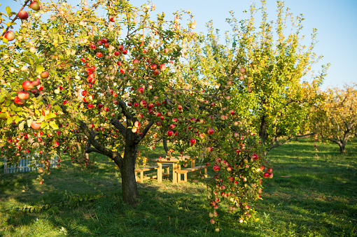 Apple garden nature background sunny autumn day. Gardening and harvesting. Fall apple crops organic natural fruits. Apple tree with ripe fruits on branches. Apple harvest concept.