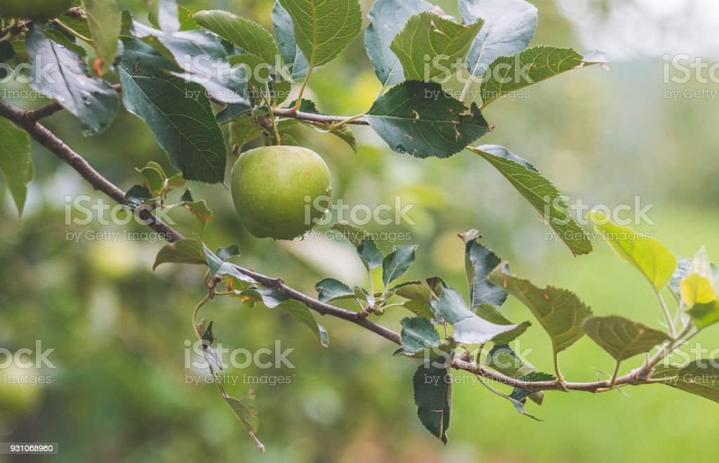 Apple Hanging From a Tree stock photo