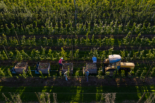 Aerial view of farmers harvesting apples in autumn. Tractor with trailers full of apples stands between rows of apple trees, Malopolska Province, Poland.