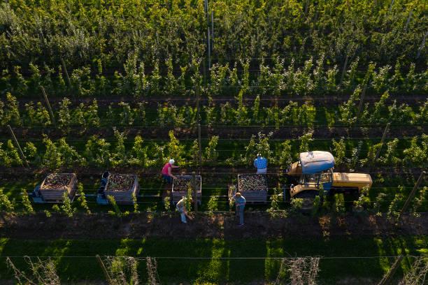 apple harvest, aerial view - picking fruit imagens e fotografias de stock