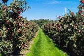 Unendliche Baumreihen mit reifen Äpfeln warten auf die Ernte