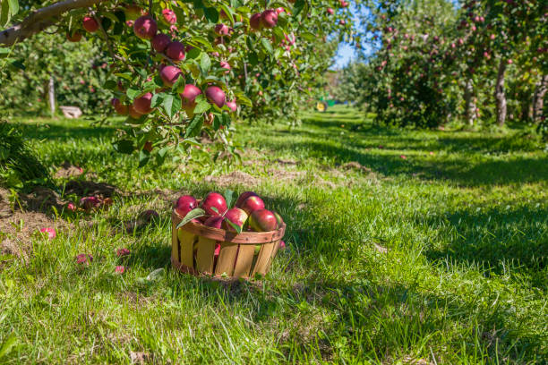 Apple harvest A basket of freshly picked apples in the orchard. apple orchard stock pictures, royalty-free photos & images