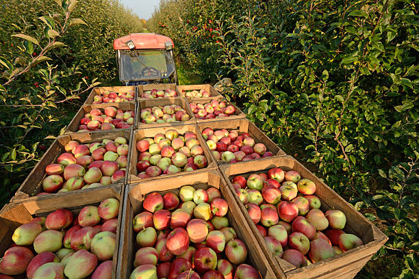 apple harvest - apple fruit stock photos and pictures