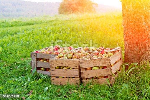 istock Apple harvest 584225418