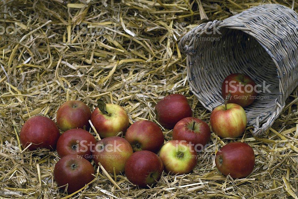 사과나무 수확하다 royalty-free 스톡 사진