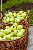 Apple harvest. Two wicker baskets with green apples in orchard