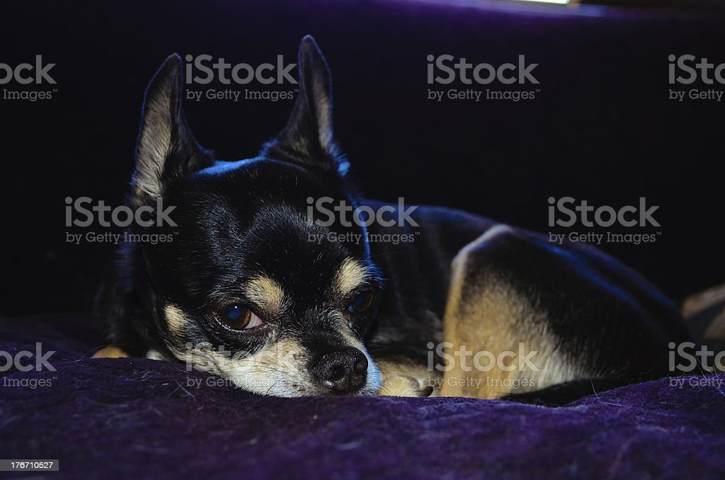 Apple Head Chihuahua Gives The Eye royalty-free stock photo