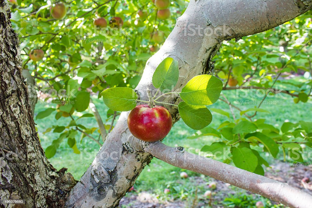 Apple in a Tree Branch - Royalty-free 2015 Stock Photo