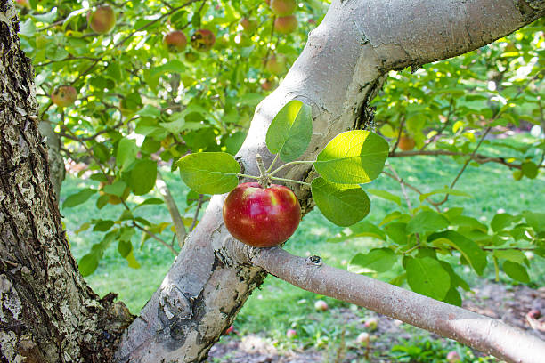 Apple in a Tree Branch stock photo