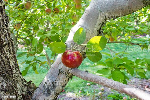 Apple In A Tree Branch Stock Photo - Download Image Now