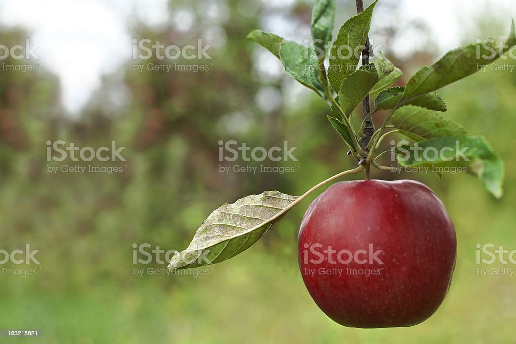 Apple in an Orchard royalty-free stock photo