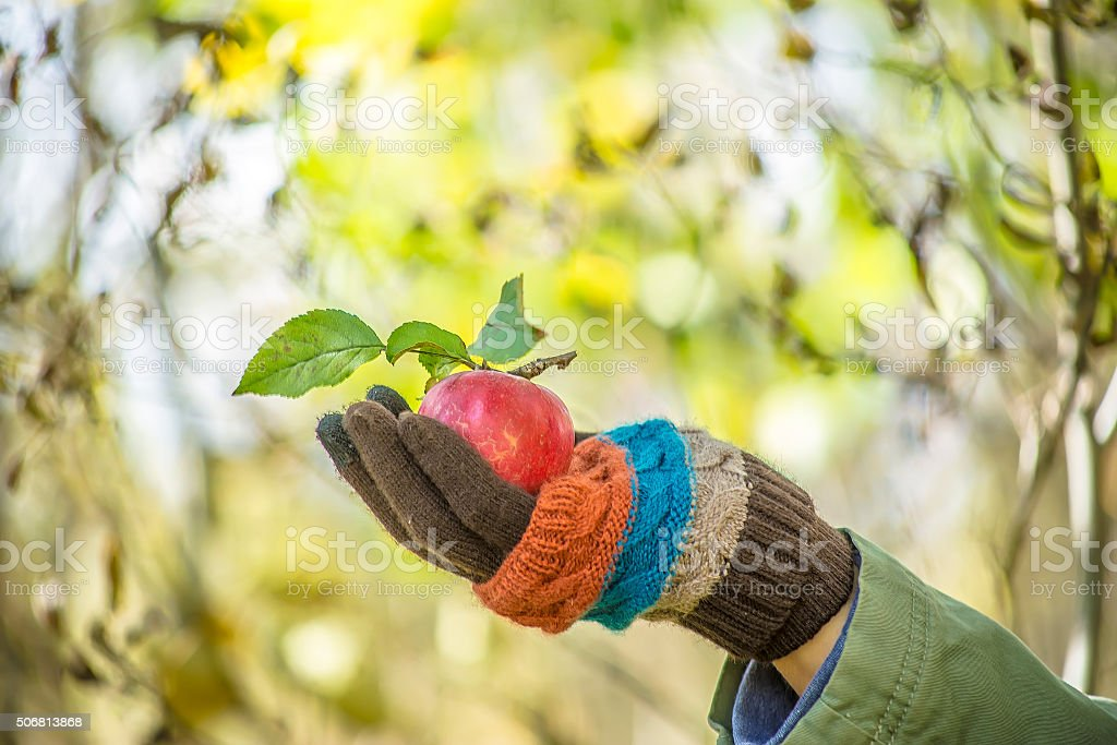 apple in the man's hand dressed in woolen gloves stock photo